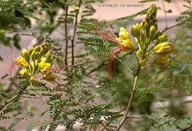 vascular plant image library caesalpiniaceae