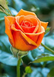 best 25 orange roses ideas on pinterest roses orange flower