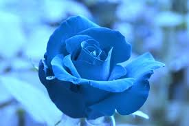 free blue rose wallpapers wallpaper cave