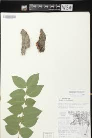 plants native to wisconsin online virtual flora of wisconsin gymnocladus dioicus
