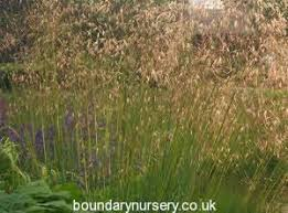 boundary nurserybuy ornamental grasses stipa gigantea