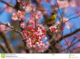 a bird with a pink cherry blossom tree in stock image image