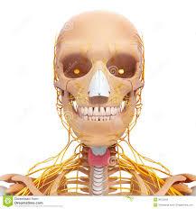 Nervous System Human Anatomy Nervous System Human Anatomy Stock Vector Image 45245725