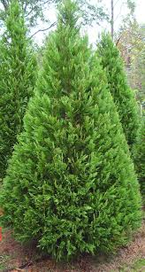 conifers sunnyside nursery