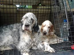 types of setter dog breeds the irish setter holidays4dogs home boarding for dogs