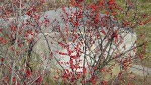 native wetland plants native shrubs for birds audubon greenwich