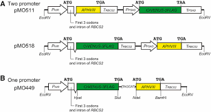robust transgene expression from bicistronic mrna in the green