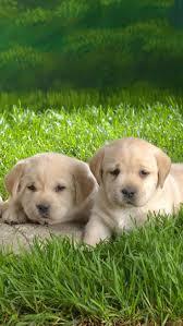 1003 best labrador retrievers images on pinterest labrador