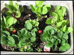 What To Plant In Spring Vegetable Garden by Growing Vegetables In Containers For Small Vegetable Varieties