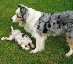australian shepherd female names 25 cute pictures of puppies and mama dogs for mother u0027s day dogtime