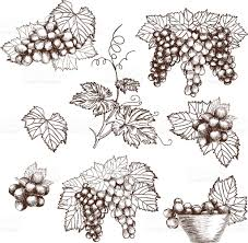 set of bunch grapes sketch style vector illustration old engraving