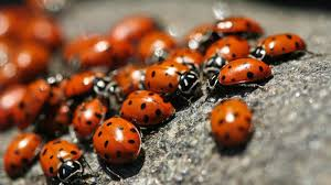 what is a group of ladybugs called reference com
