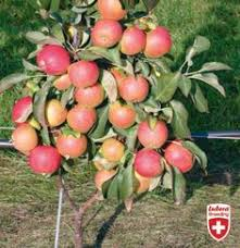 Blackmoor Fruit Trees - cherry maynard mini stem blackmoor nurseries container fruit