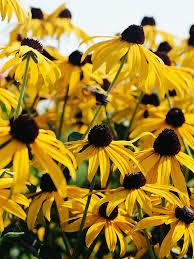 perennials that need infrequent dividing black eyed susan black