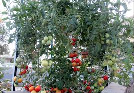 Tomato Tree Raise Healthy Tomatoes In The Waterboxx Plant Cocoon Projects