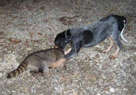 7 month old bluetick coonhound bluetick 1 kennels bluetick1kennels www bluetick1kennels com