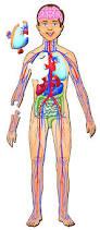 Right Side Human Anatomy Human Body Back Right Side Human Anatomy Chart