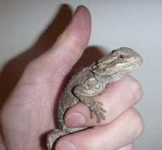 sw england rescued baby bearded dragons for sale reptile forums