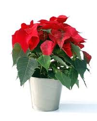 christmas plant plant rentals in the chicago area phone 630 790 3322