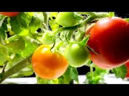 Click And Grow Refills Mini Tomato Grow Fresh Food At Home Click U0026 Grow