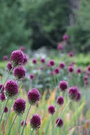purple allium drumstick is the companion plant for