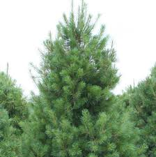 pine trees for sale fast growing trees