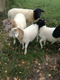 Haus Kaufen Und Verkaufen Schafe Kaufen Auf Www Landwirt Com