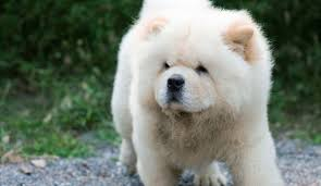 fu dogs for sale 15 facts you to before getting a foo dog dog