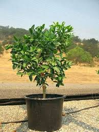 dwarf citrus trees navel orange tree semi dwarf dwarf citrus trees