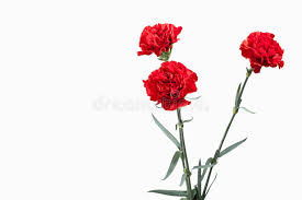 Red Carnations Flower Red Carnations Bouquet Isolated On White Background Stock