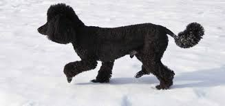 poodle cuts and hairstyles petcarerx com