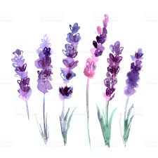 lavender flowers watercolor painted lavender flowers on white background stock