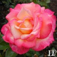 mardi gras roses mardi gras floribunda lightly fragrant heirloom roses