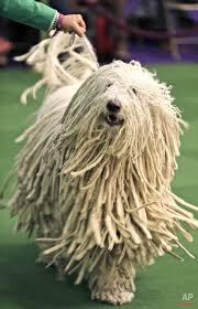 australian shepherd 2015 westminster westminster dog show u2014 ap images spotlight