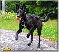 belgian shepherd x lurcher read acné u0027s story the border collie belgian malinois from ostrava
