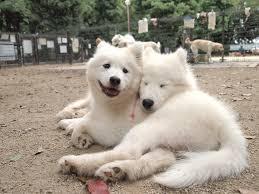 american eskimo dog facts is the american eskimo dog and the samoyed dog similar