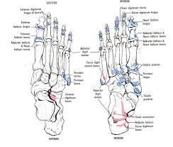Skeletal Picture Of Foot Figure 12 33