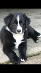 australian shepherd 7 weeks australian shepherd puppy for sale in lexington ky adn 33278 on