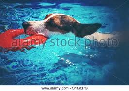 jack russell terrier dog swimming smoothly in the pool towards