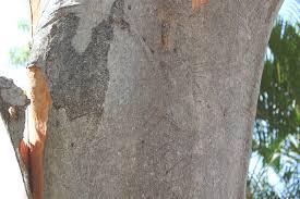 brisbane backyard naturalist gum trees at my place eucalyptus major