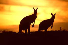 kangaroos u2013 australia u0027s most iconic animals travelvivi com