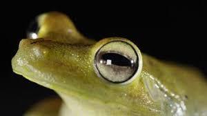 why does the eyed tree frog three eyelids