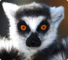 Lemur Meme - create meme lemur meme lemur uzbagoysya lemur pictures
