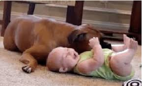 boxer dog health questions 10 reasons boxers might be the perfect dog rover com