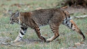 Bobcat trapping ban still on the table says lawmaker chicago