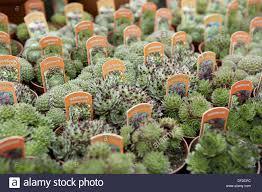 perennial garden vegetables perennial plants sempervivum spp in pots in garden centre stock