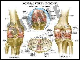 Interactive Knee Anatomy Normal Knee Anatomy S U0026a Medical Graphics S U0026a Medical Graphics