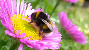 bumble bee on flower free stock photo public domain pictures