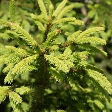 real christmas tree norway spruce christmas tree from edenmill