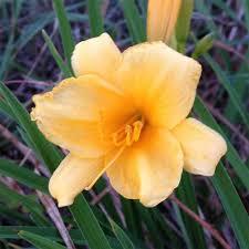 Stella Daylily Stella De Oro Daylily Jung Garden And Flower Seed Company